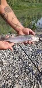 Rainbow Trout — Toni Berritto