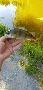 European Perch — Anthony  StreetFishingDK