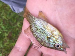 Green Sunfish — Julien Charge