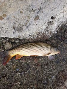 Common Carp — Thomas Covo