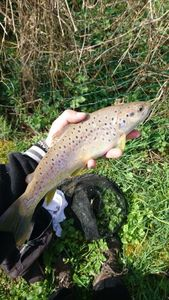 Brown Trout — Valentin  Cancy