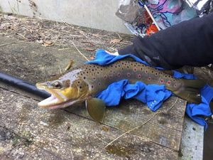 Brown Trout — Gwenael Horveno