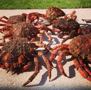 European Spider Crab — Teo Lamour
