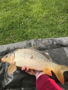 Common Carp — Antoine Dorgere