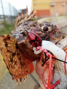Brown Scorpionfish — Adrien fishingriverandsea