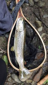 Brown Trout — Quentin Dos Anjos