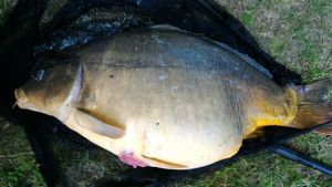 Mirror Carp — Jean-Louis Glaas