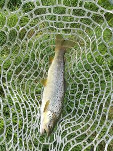 Brown Trout — Romain Leroy