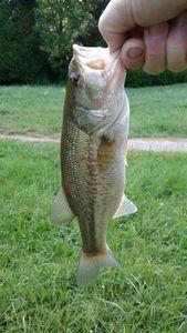 Black Bass (Achigan à Grande Bouche) — Blackflav Fishing