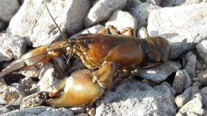 Noble Crayfish — Cantal Auvergne