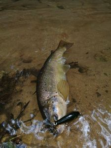 Brown Trout — Alz Lyon