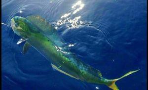 Dolphinfish — Brice Lanteri