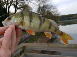 European Perch — Benjamin  Pineau