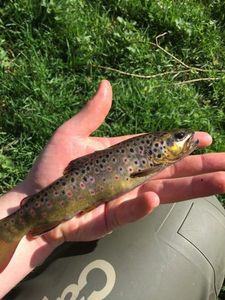 Brown Trout — Steven Dorso