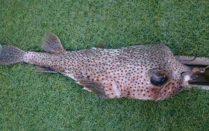 poisson coffre  — GIORGIO  ANDRIEU