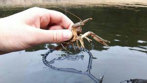 White-Clawed Crayfish — Breizh Fisher