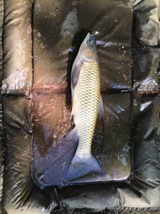 Silver Carp — Johan Legoff