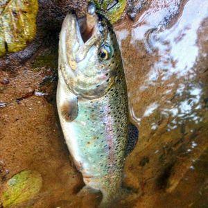 Rainbow Trout — Guillaume Vobmann