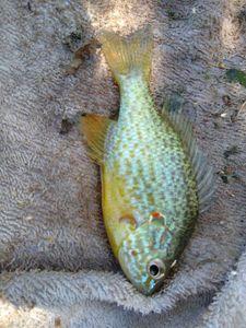 Green Sunfish — Steeve Esnault