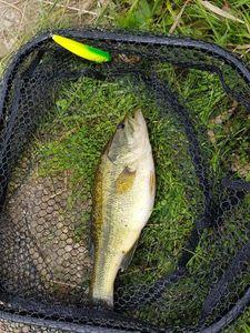 Largemouth Bass — Arnaud Bihan