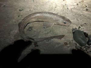 Lesser Spotted Dogfish (Small Spotted Catshark) — Olivier Denisot