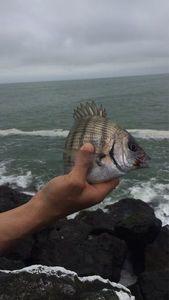 White Seabream — Nzé Jeremy Guide de pêche