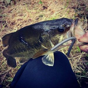 Largemouth Bass — Maxime Phélippot