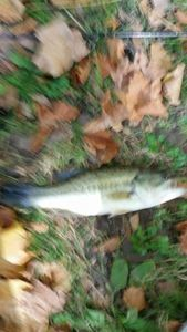 Largemouth Bass — Le Pêcheur Du 31 Gaillardou
