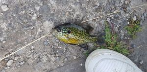 Green Sunfish — Thomas Germain