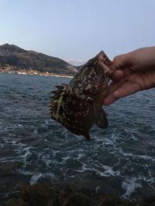 Brown Grouper — Niels Peters