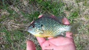 Green Sunfish — Samuel Balcou