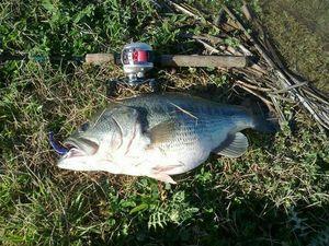 Largemouth Bass — Andrea Nocera