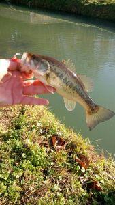 Largemouth Bass — Mathis Lamy