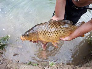 Common Carp — Manuel Colautti