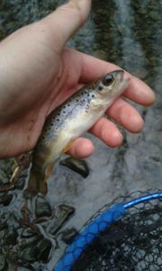 Brown Trout — Kr Fishing