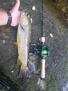 Brown Trout — Jacky Ley