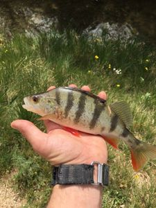 European Perch — Rémi Bouchasson