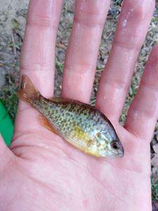 Green Sunfish — Julien Prince