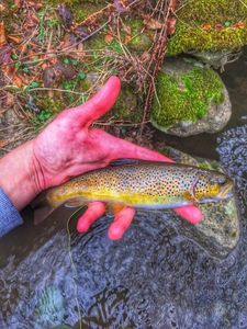 Brown Trout — Tristan Duclaux