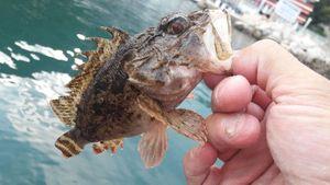 Brown Scorpionfish — Mich  Pêche