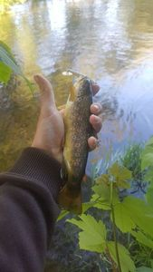 Brown Trout — Mathieu Wagner
