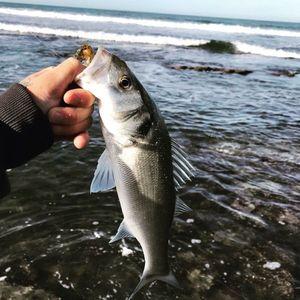 European Bass — Dam Perherin