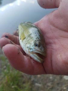 Largemouth Bass — Rs5paris92 Parc