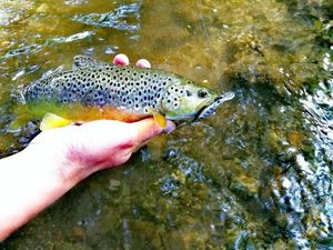 Brown Trout — Thomas Lazzari