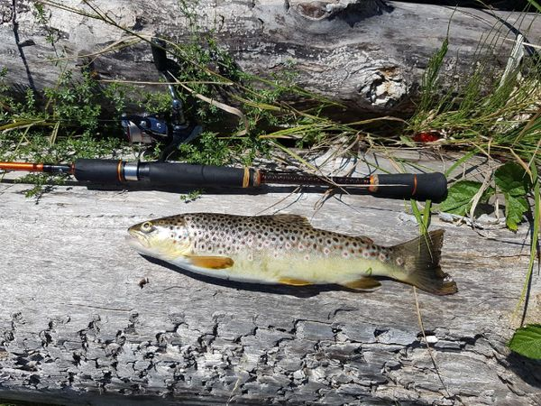 Brown Trout by Flavio Couppey | 0