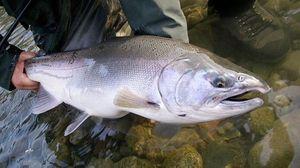 Atlantic Salmon (Landlocked) — Antoine Terme