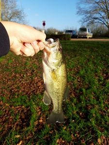 Largemouth Bass — Romain Chadeau