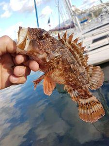 Red Scorpionfish — Ben Benito Rockfishing