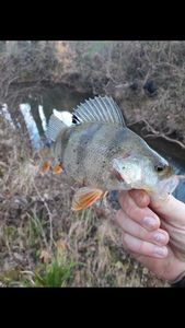 European Perch — Adrien fishingriverandsea
