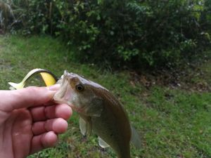 Largemouth Bass — Alex DARCHIS